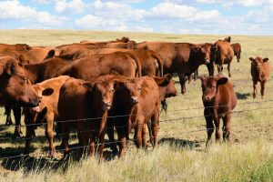 Cattle Mineral Program