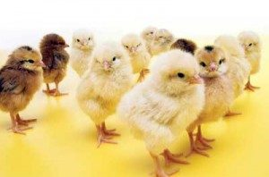 2 to 3-week old baby chickens